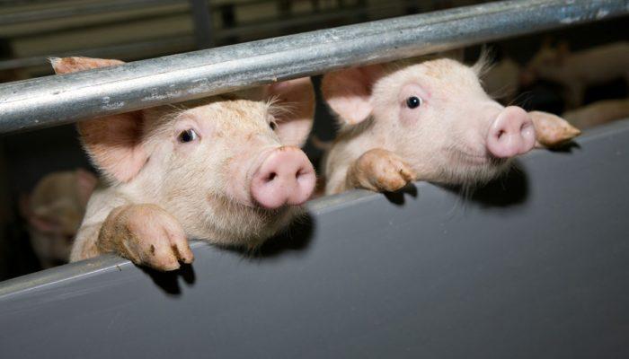 Как заработать на разведении свиней: подробный бизнес план с расчетами и рекомендации