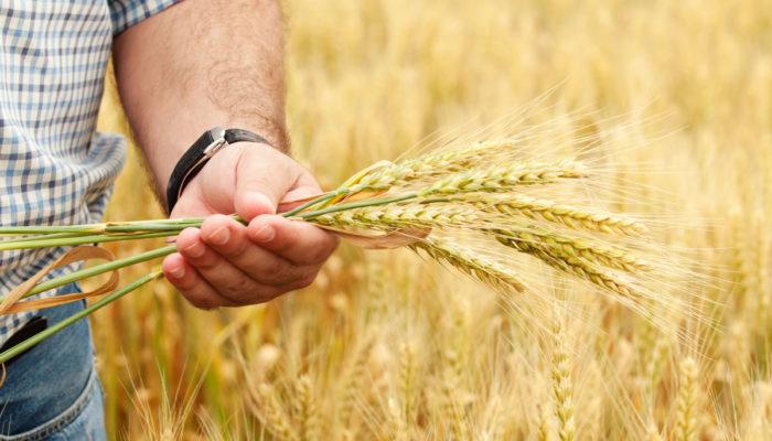 Как заработать на выращивании зерновых культур?