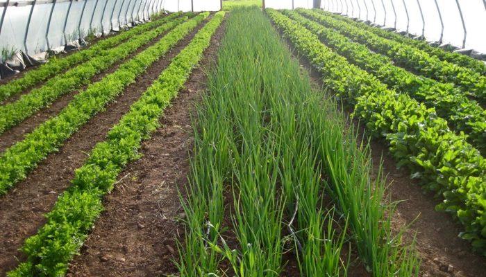 Бизнес на выращивании зелени – перспективная идея?