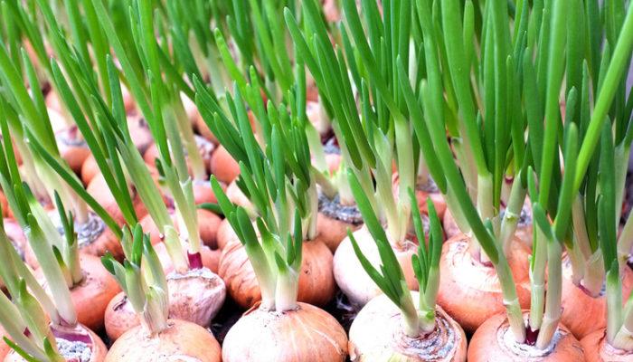 Выращивание зеленого лука как бизнес